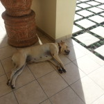 Homestead's guard dog/love-to-eat-lots dog/lazing-away dog..